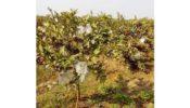 নিষিদ্ধ পলিথিন পেয়ারার আধুনিক ফ্রুটব্যাগ,হুমকির মুখে পরিবেশ