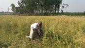 রানীশংকৈলে সরিষার বাম্পার ফলন খুশিতে নিজেই কাটতে নামলেন বৃদ্ব আইজুল