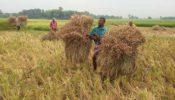 রাজশাহীর বরেন্দ্র অঞ্চলে বোরো ধান কাটা শুরু
