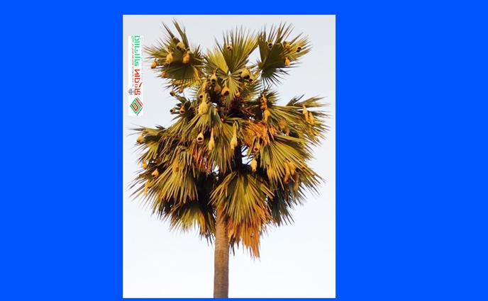 কালের আর্বতণে হারিয়ে যাচ্ছে প্রাকৃতিক অপরুপ শিল্পী বাবুই পাখি ও তার দৃষ্টিনন্দন বাসা
