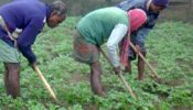 বালিয়াডাঙ্গীতে এবার আলুর দাম বাম্পার হওয়ায় কৃষকদের স্বস্তির