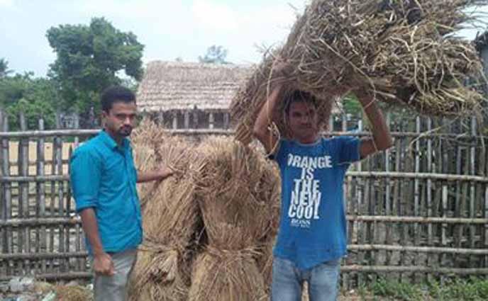 ঠাকুরগাঁওয়ে প্রত্যন্ত অঞ্চলে গো-খাদ্যের তীব্র সংকট