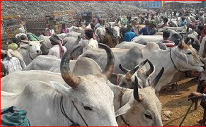 রাজশাহীতে ভারতীয় গরুর আধিক্য