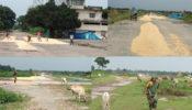 ঠাকুরগাঁও বিমান বন্দরের রানওয়েতে চলে এখন ফসলের চাকা