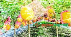 পীরগঞ্জে হলুদ রঙের তরমুজ চাষ তিন কৃষকের বাজিমাত…