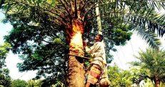 আত্রাইয়ে চলছে প্রাচীনতম ঐতিহ্যবাহী খেজুর রস সংগ্রহের প্রস্তুতি