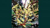 আত্রাইয়ে সবুজ পাতার ফাঁকে ফাঁকে শোভা পাচ্ছে আমের মুকুল…