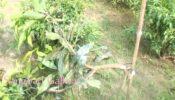 বালিয়াডাঙ্গীতে আম বাগানের গাছ কেটে দিয়েছে দুর্বৃত্তরা…